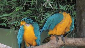 五颜六色的金刚鹦鹉鹦鹉画象坐树枝反对密林背景,青和黄色金刚鹦鹉拉特 阿拉伯 影视素材