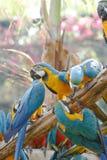 五颜六色的金刚鹦鹉 库存照片