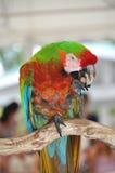 五颜六色的金刚鹦鹉 免版税库存照片