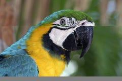 五颜六色的金刚鹦鹉 库存图片