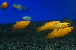 五颜六色的金子,黄色娘娘腔的男人Poecilia sphenops水族馆钓鱼 免版税库存图片