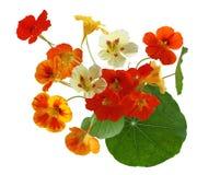 五颜六色的金莲花花 免版税库存图片