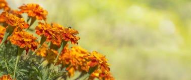 五颜六色的金黄万寿菊背景 免版税图库摄影