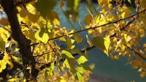 五颜六色的金黄秋叶 影视素材