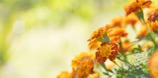 五颜六色的金黄金盏草万寿菊背景 库存图片