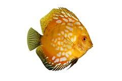 五颜六色的铁饼鱼查出热带的symphysodon 库存图片