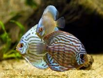 五颜六色的铁饼鱼 免版税库存照片