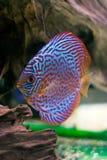 五颜六色的铁饼鱼 图库摄影