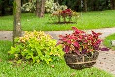 五颜六色的锦紫苏叶子植物 免版税库存照片
