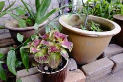 五颜六色的锦紫苏和绿色植物seramic罐的 免版税库存图片