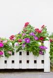 五颜六色的长春蔓花。 免版税图库摄影