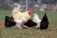 五颜六色的雄鸡和鸡是走自由 免版税库存照片