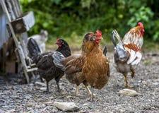 五颜六色的雄鸡在冰岛 免版税库存照片