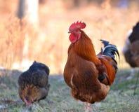 五颜六色的雄鸡或好斗的公鸡在 免版税库存图片