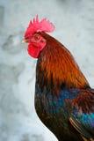 五颜六色的雄鸡 免版税库存图片