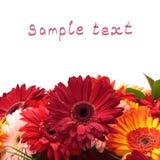 五颜六色的雏菊开花充满活力的大丁草 免版税库存图片