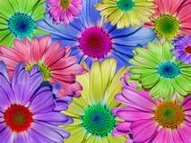 五颜六色的雏菊主题 免版税图库摄影