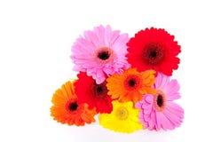 五颜六色的雏菊gerber 库存照片