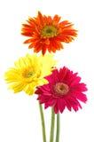 五颜六色的雏菊gerber 库存图片