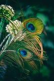 五颜六色的青绿的两根孔雀羽毛 库存图片
