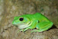 五颜六色的青蛙绿色 免版税库存照片