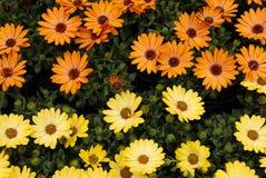 五颜六色的非洲雏菊 库存照片