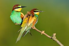 五颜六色的食蜂鸟坐分支 图库摄影