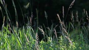 五颜六色的高草地早熟禾 影视素材
