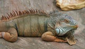 五颜六色的鬣鳞蜥在她的胃说谎 库存照片
