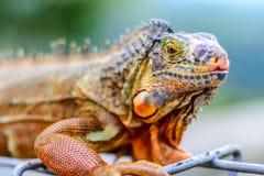 五颜六色的鬣鳞蜥 免版税库存照片