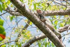 五颜六色的鬣鳞蜥 免版税图库摄影