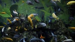 五颜六色的鱼在大水族馆,淡水鱼,水下的世界,沈默宠物,水族馆爱好,水族馆游泳 股票视频