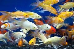 五颜六色的鱼在池塘 免版税库存照片