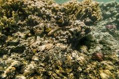 五颜六色的鱼在珊瑚礁游泳在红海 免版税库存照片