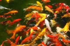 五颜六色的鱼池 库存照片
