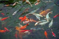 五颜六色的鲤鱼 免版税图库摄影