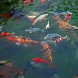 五颜六色的鲤鱼 库存照片