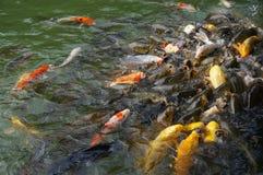 五颜六色的鲤鱼 免版税库存照片