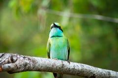 五颜六色的鸟在雅拉国家公园 东部食蜂鸟在斯里兰卡 免版税库存照片