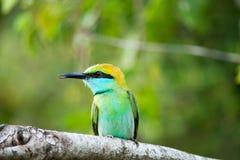 五颜六色的鸟在雅拉国家公园 东部食蜂鸟在斯里兰卡 免版税库存图片