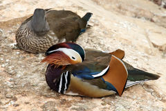 五颜六色的鸟夫妇  图库摄影