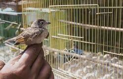 五颜六色的鸟待售在鸟市场上在日惹, Java,印度尼西亚 免版税图库摄影