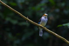 五颜六色的鸟银breasted broadbil 库存图片