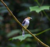 五颜六色的鸟银breasted broadbil 免版税库存图片