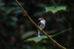 五颜六色的鸟银breasted broadbil 图库摄影