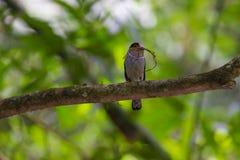 五颜六色的鸟银breasted broadbil 免版税库存照片