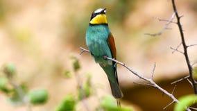 五颜六色的鸟-欧洲食蜂鸟食蜂鸟属apiaster坐棍子和神色  股票视频