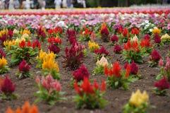 五颜六色的鸡冠花花在北海道 免版税图库摄影