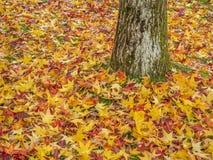 五颜六色的鸡爪枫叶子在秋天 图库摄影