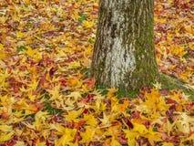 五颜六色的鸡爪枫叶子在秋天 库存照片